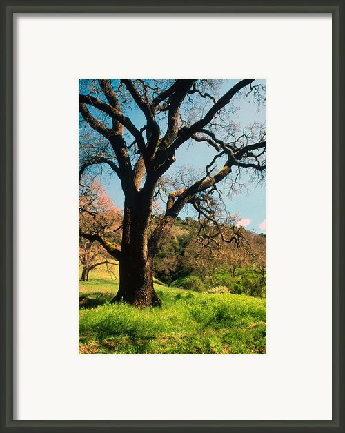 Spring Oak Framed Print By Kathy Yates