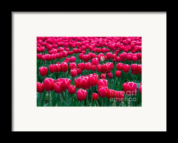 Spring Tulips Framed Print By David R Frazier And Photo Researchers