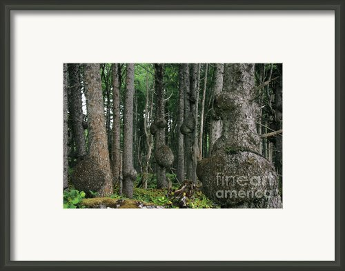 Spruce Burls Olympic National Park Wa Framed Print By Christine Till