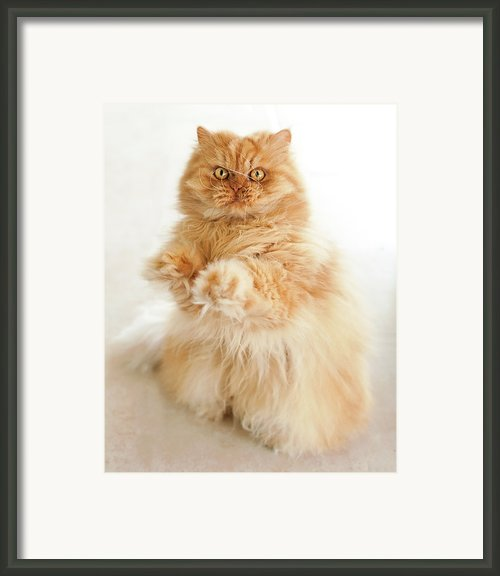 Standing Persian Cat Framed Print By Hulya Ozkok