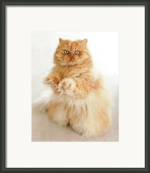 Standing Persian Cat Framed Print By Hulya Ozkok