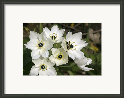 Star Of Bethlehem (ornithogalum Arabicum) Framed Print By Bob Gibbons