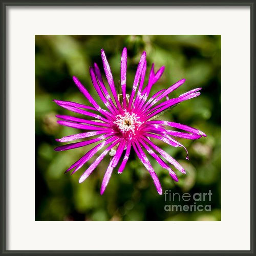 Starburst Of The Wildflowers Framed Print By John Haldane