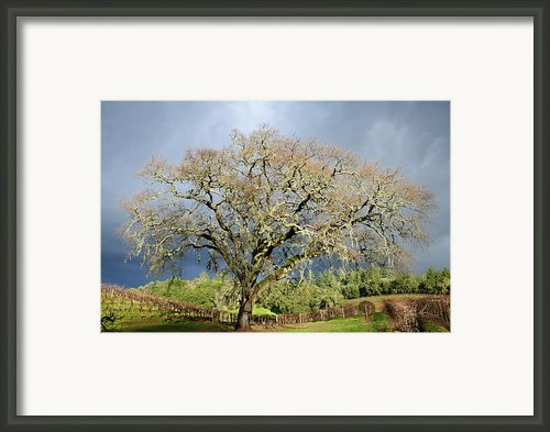 Storm Approaching Valley Oak Framed Print By Mark Zukowski
