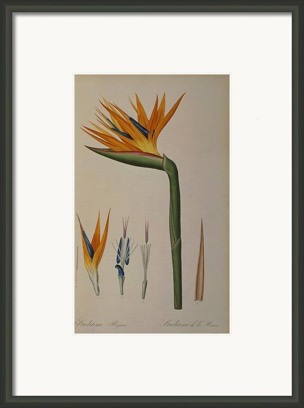 Strelitzia Reginae Framed Print By Pierre Joseph Redoute