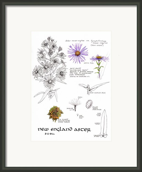 Study Book New England Aster Framed Print By Betsy Gray