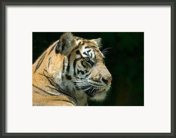 Sumatran Tiger Framed Print By Mary Lane