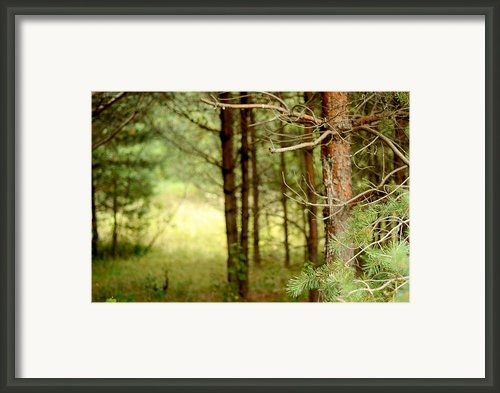 Summer Forest. Pine Trees Framed Print By Jenny Rainbow