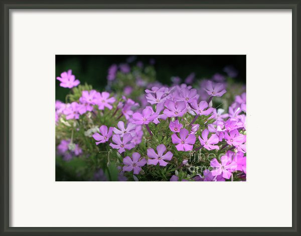 Summer Phlox Framed Print By Jeannie Burleson