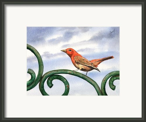 Summer Tanager Framed Print By Sam Sidders