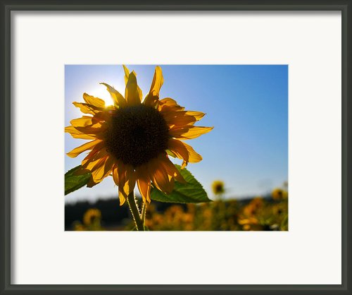 Sun And Sunflower Framed Print By Brian Bonham