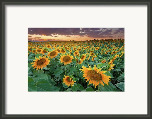 Sunflower Field In Longmont, Colorado Framed Print By Lightvision