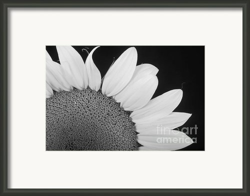 Sunflower Three Quarter Framed Print By James Bo Insogna