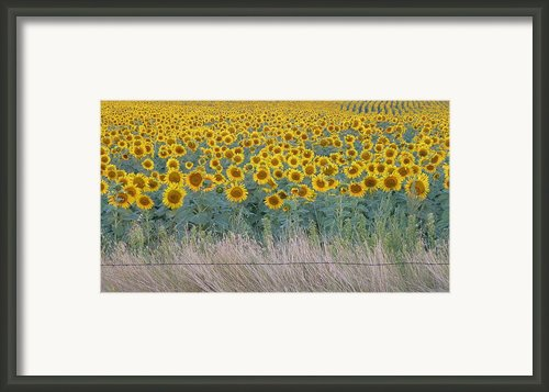 Sunflowers Behind Barbed Wire Framed Print By Estephy Sabin Figueroa