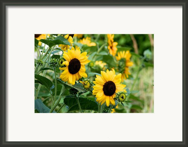 Sunflowers Framed Print By Ivan Sabo