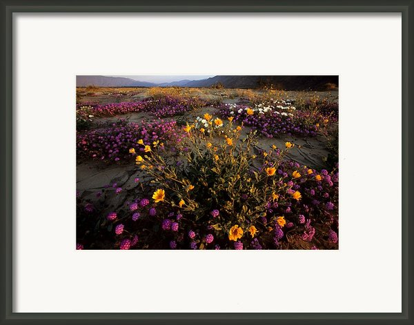 Sunrise On Desert Wildflowers Framed Print By Tim Laman