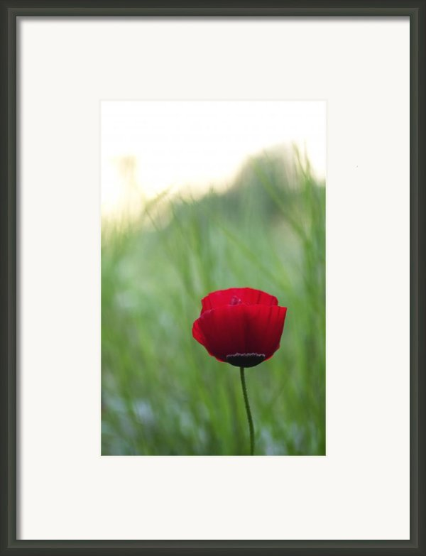 Sunset Poppy Framed Print By Julia Bridget Hayes