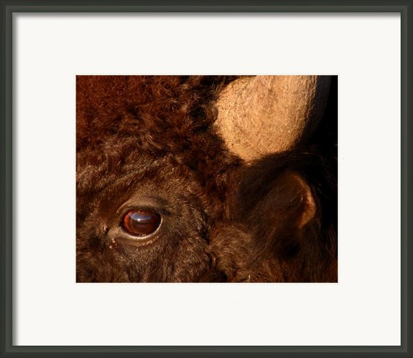 Sunset Reflections In The Eye Of A Buffalo Framed Print By Max Allen