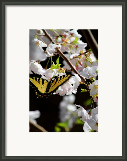 Swallowtail Framed Print By Nathan Grisham