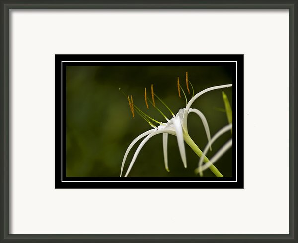 Swamp Lily Framed Print By Carolyn Marshall