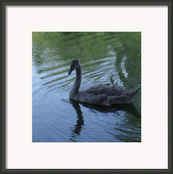 Swan Cygnet Framed Print By Anna Villarreal Garbis