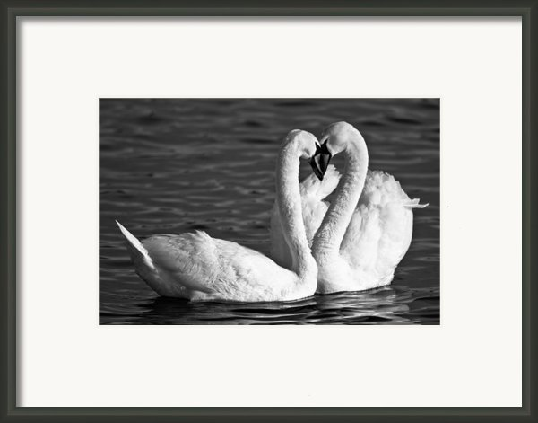 Swans Framed Print By Brandon Broderick