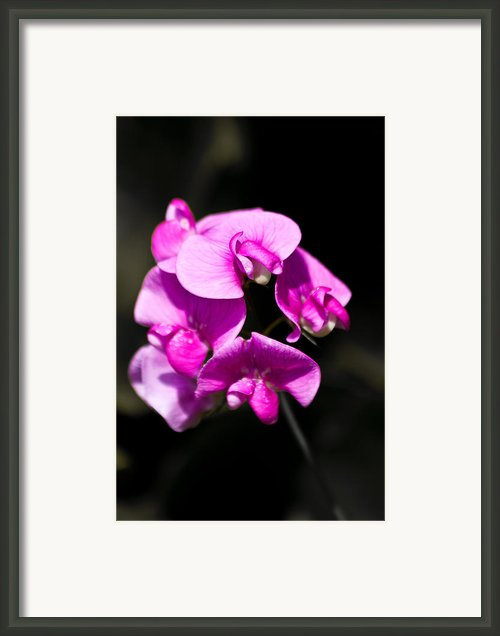Sweat Pea Framed Print By Dawn Oconnor