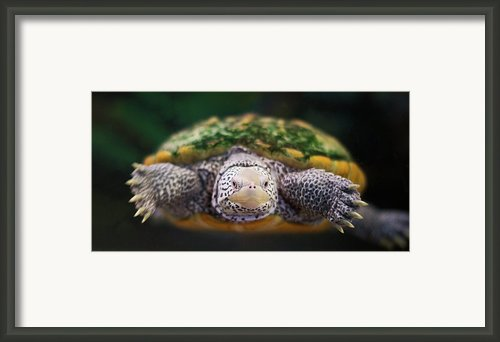 Swimming Turtle Facing Camera Framed Print By Greg Adams Photography
