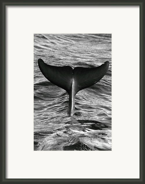 Tail Of Diving Dolphin Above Water Framed Print By Rich Lewis