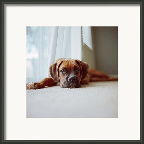 Tan Boxer Puppy Laying On Carpet Near Window Framed Print By Diyosa Carter