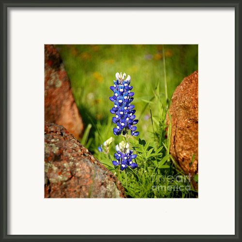 Texas Bluebonnet Framed Print By Jon Holiday