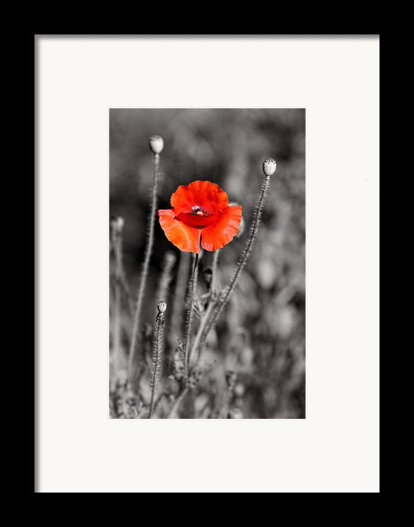 Texas Hot Poppy With Black And White Framed Print By Linda Phelps