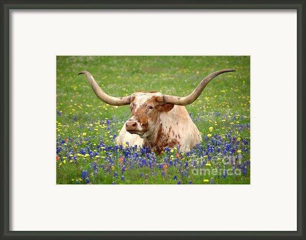 Texas Longhorn In Bluebonnets Framed Print By Jon Holiday