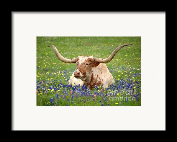 Texas Longhorn In Bluebonnets Framed Print By Jon Holiday