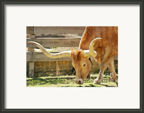 Texas Longhorns - A Genetic Gold Mine Framed Print By Christine Till
