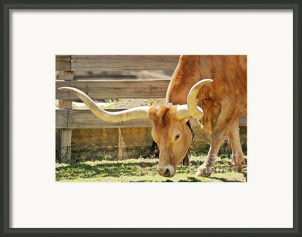 Texas Longhorns - A Genetic Gold Mine Framed Print By Christine Till