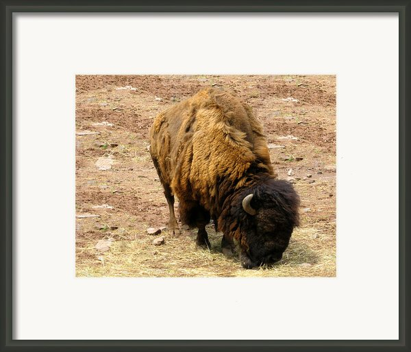 The American Buffalo Framed Print By Bill Cannon