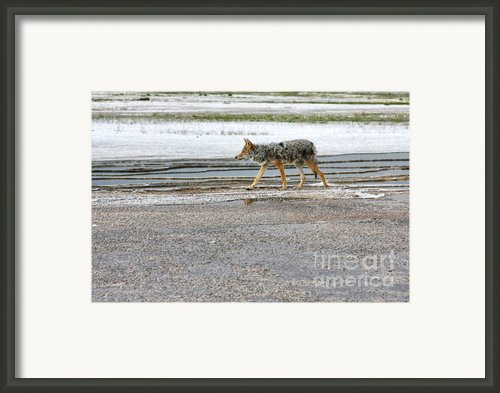 The Coyote - Dogs Are By Far More Dangerous Framed Print By Christine Till