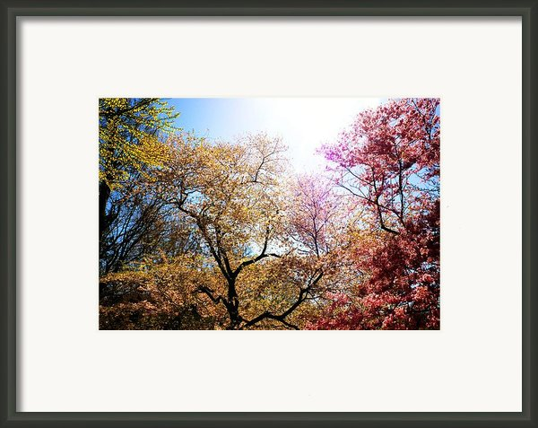 The Grandest Of Dreams - Cherry Blossoms - Brooklyn Botanic Garden Framed Print By Vivienne Gucwa