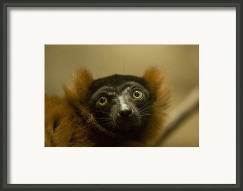 The Omaha Zoos Red Ruffed Lemur Varecia Framed Print By Joel Sartore