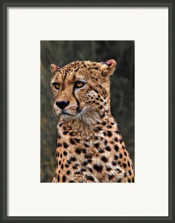 The Pensive Cheetah Framed Print By Chris Lord