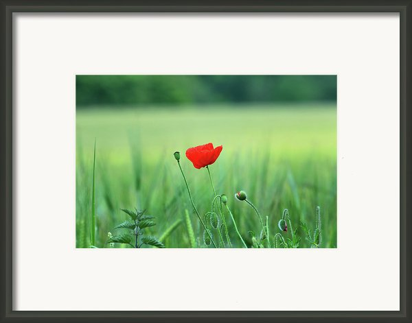 The Poppy Bloom Framed Print By K Armstrong Photography