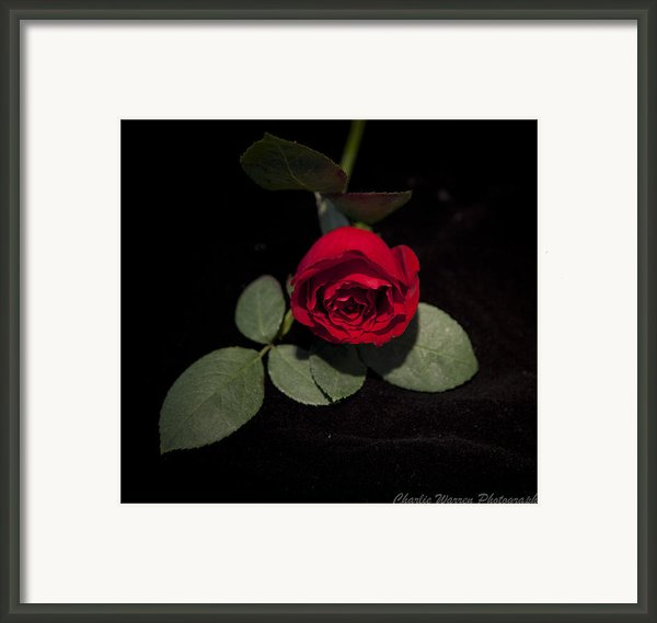 The Rose Framed Print By Charles Warren