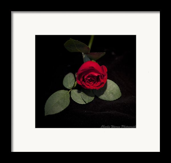 The Rose Framed Print By Charles Warren