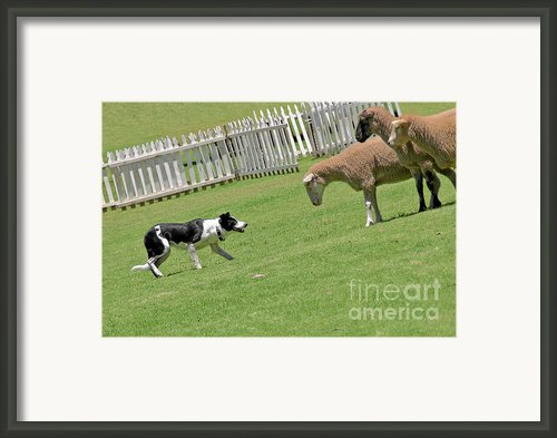 The Stare - Border Collie At Work Framed Print By Christine Till