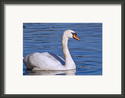 The Swan Framed Print By David  Naman