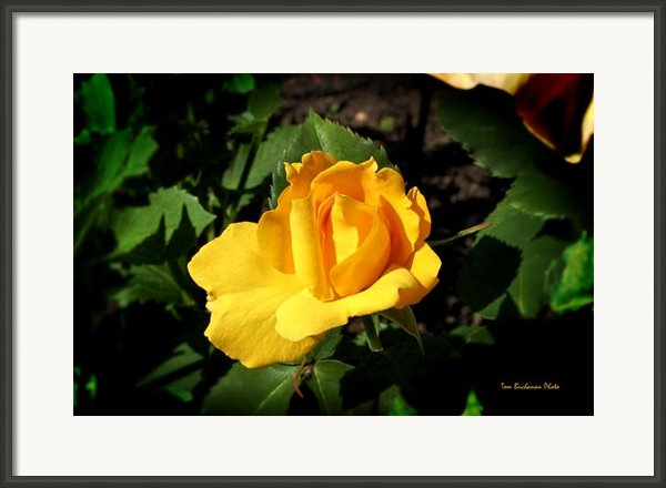 The Yellow Rose Of Garden Framed Print By Tom Buchanan