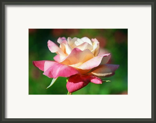 Thorns Have Roses Framed Print By Melanie Moraga