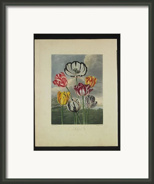 Thornton - Tulips Framed Print By Pat Kempton
