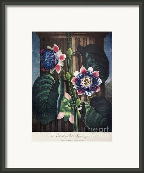 Thornton: Passion-flower Framed Print By Granger